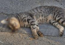 mitos menabrak kucing bikin sial dan kualat