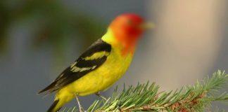 hukum memelihara dan jual beli burung hias