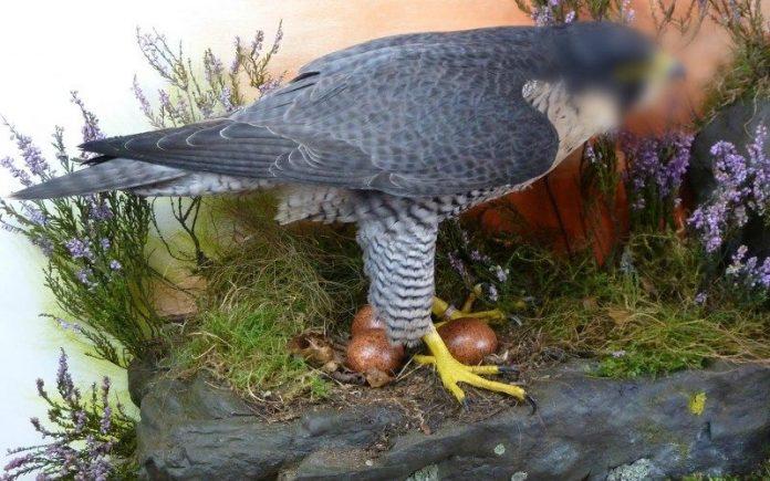 makan telur burung elang dan gagak