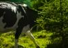 kurban sendiri atau kolektif kurban sapi kambing dan unta