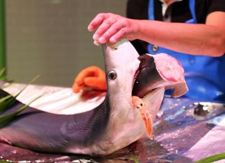 hukum makan ikan hiu